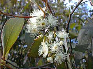 gum tree (eucalypt) in flower